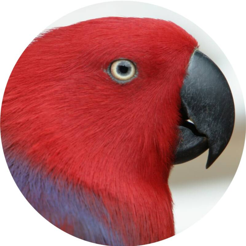 ENJOYED BY AFRICAN GREYS, ECLECTUS, LARGE CONURES (PATAGONIAN),  LARGE MINI MACAW (YELLOW-COLLARED, SEVERE), SMALL AMAZON (WHITE-FRONTED, ORANGE-WINGED, BLUE -FRONTED),  SMALL COCKATOO (GOFFIN'S, LESSER SULPHUR-CRESTED, GALAH)