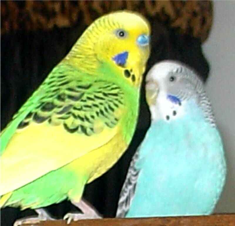 Blue Cockatiels For Sale Bird toys and parrot toys for
