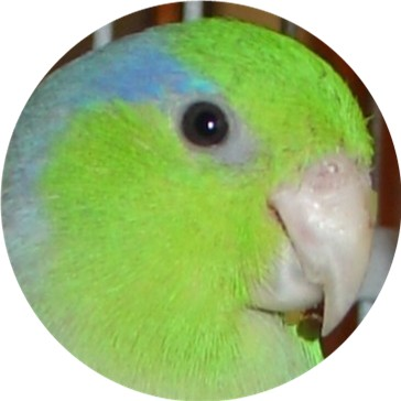 ENJOYED BY  FINCH, CANARY, PARROTLET, PARAKEET, BUDGIE, GREY CHEEK PARAKEET